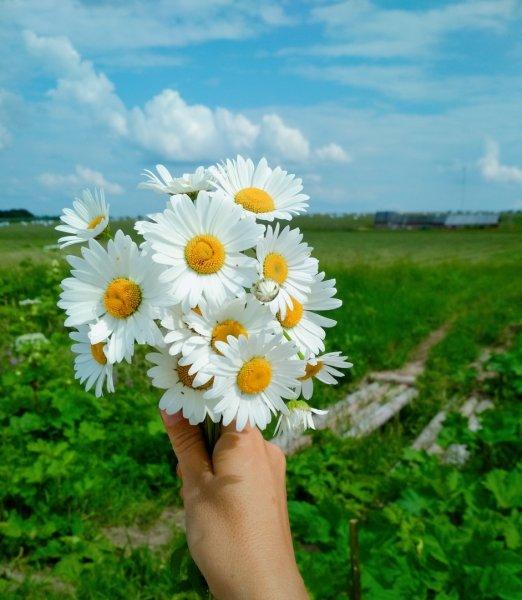 """Красивые картинки на рабочий стол """"Полевые цветы"""" ромашки!"""