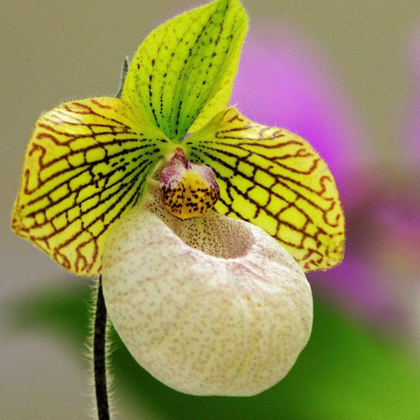 Фото цветы Орхидея (60 фото)!