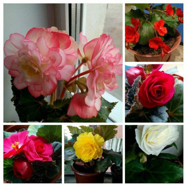 Цветы Бегония (30 фото)!